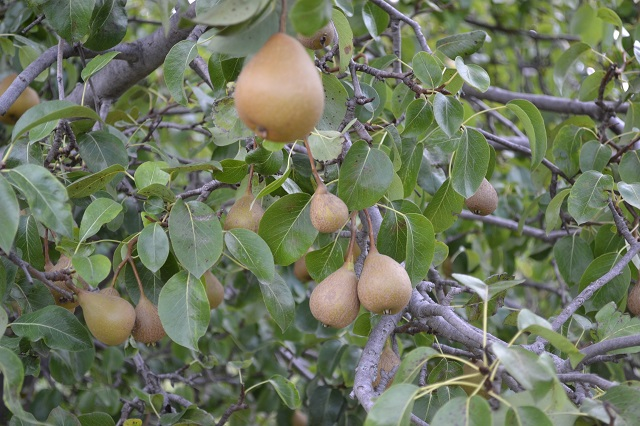 Puebla es primer productor de pera a nivel nacional: SIAP