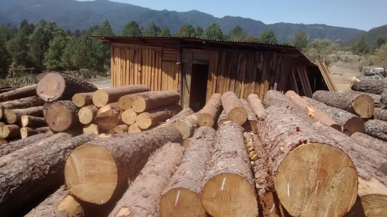 Talamontes derribaron 2, 475  pinos; les aseguran madera y maquinaria