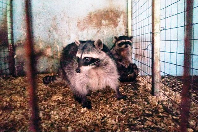 Asegura Profepa coyotes, un gato montés y un tigrillo