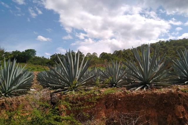 Aumenta demanda de pulque en Santa Ana Teloxtoc