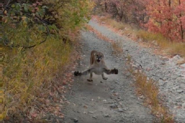 ¡Para acelerar en serio! Puma persigue a un corredor por varios minutos