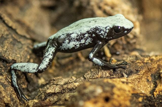 Devuelven especie de ranas poco comunes al Amazonas