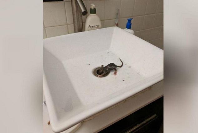 Mujer intenta lavarse las manos en el baño y sale rata del drenaje