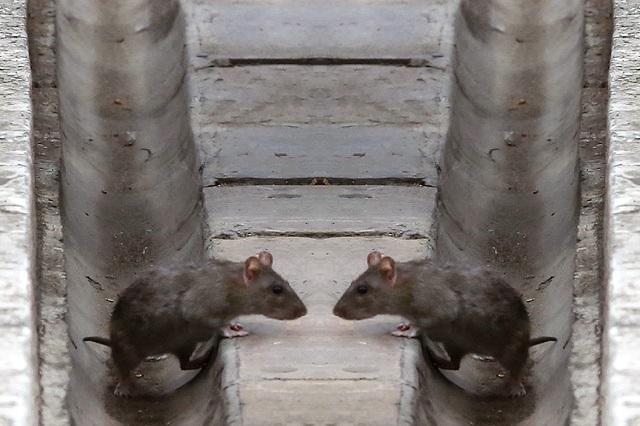 Foto de pelea de ratones en metro de Londres gana premio y se hace viral