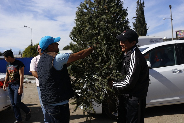 Están disponibles 94 mil árboles de navidad producidos en Puebla
