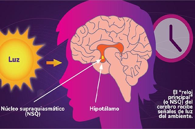 Órganos y tejidos del cuerpo tienen relojes moleculares