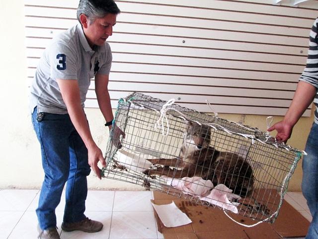 Rescata Profepa a un coyote en la Sierra Norte de Puebla