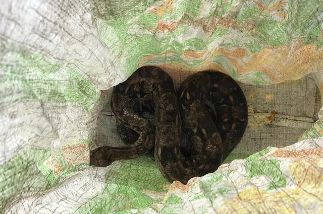 Descubren 280 iguanas, 8 tortugas y 1 serpiente en la CAPU