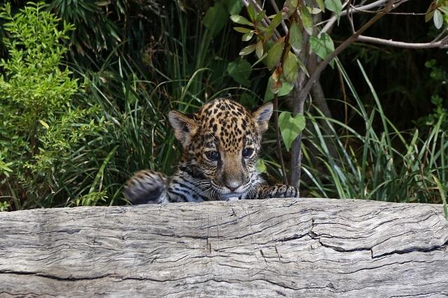 Reto viral: ¿Podrás encontrar al leopardo en foto de Facebook?