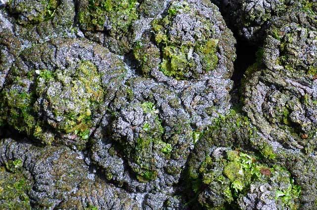 Rocas con vida por Dentro: Pyura Chilensis, una excentricidad de la naturaleza