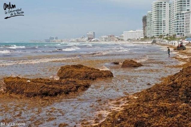 ¿Qué es el sargazo que afecta las playas de México?