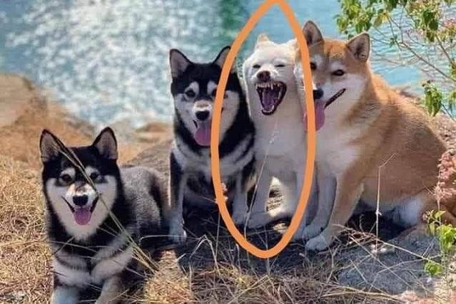Husky arruina sesión de fotos y el resultado se hace viral