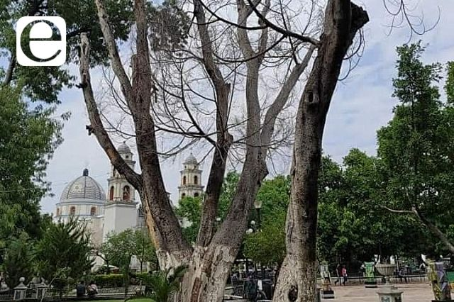 Talan árboles muertos en Tehuacán por riesgo para transeúntes
