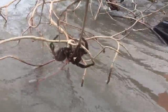 Video: Mujer salva de posible muerte a peligrosa tarántula y su acción es viral