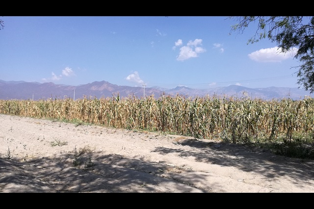Perderán 40 hectáreas de elote campesinos de Tehuacán por Covid-19