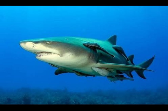Sacrificarían a medio millón de tiburones por vacuna contra Covid-19