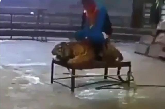 Indigna video de como dos hombres maltratan a un tigre