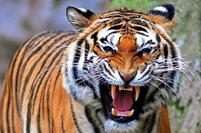 Tigre aterra a policías y granjero por una hora… pero era de peluche