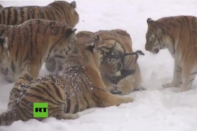 VIDEO VIRAL Tigres siberianos persiguen y cazan a un dron