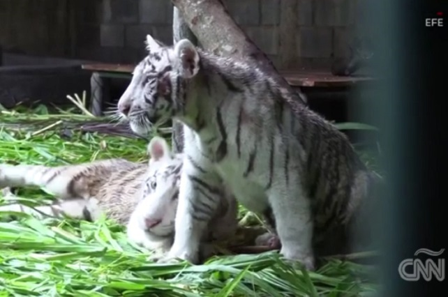 Zoológico de México dona a Nicaragua 2 tigres blancos