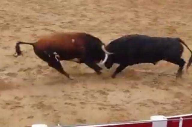 Impactante video: Toros mueren tras impactarse de frente