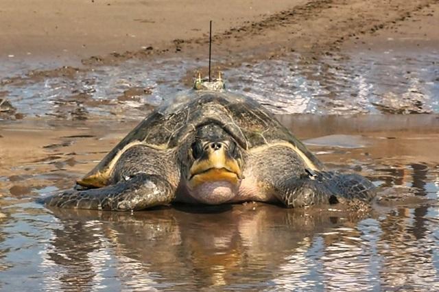 Por cambio climático, en riesgo la reproducción de las tortugas marinas