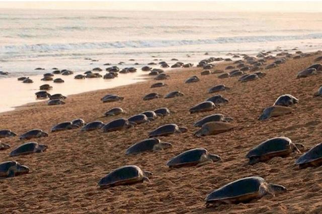 Por ausencia de turistas, cientos de tortugas acuden a playas para anidar