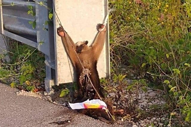 Muerto y con signos de tortura, así hallaron a oso hormiguero en Yucatán