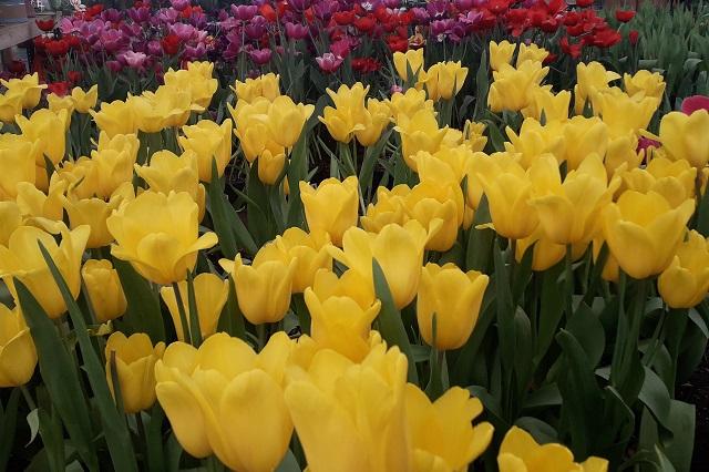 Tulipán Holandés se queda en viveros de Atlixco por Covid-19