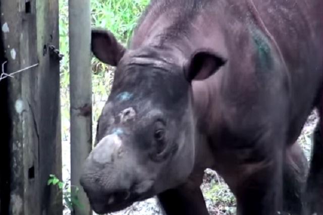 Muere el último rinoceronte de Sumatra en Malasia