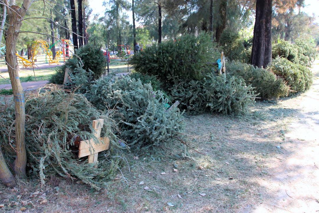 Abren centros de acopio para árboles de Navidad naturales