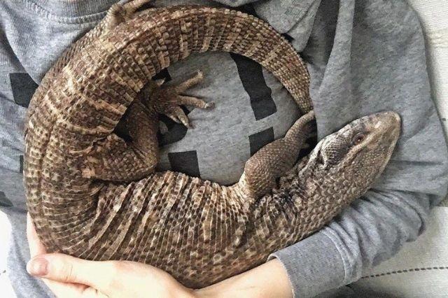 Posesión del lagarto liberado en Atlixco era legal: Profepa