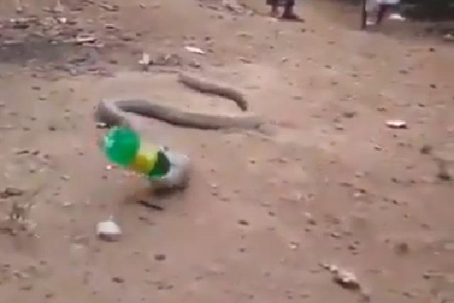 Video: Serpiente se traga botella de plástico y así la vomitó