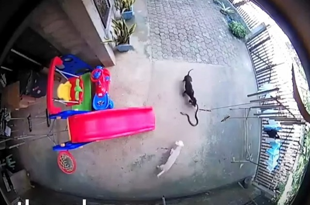 Video: Perros defienden a un bebe del ataque de una cobra