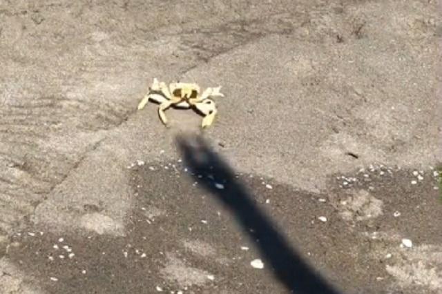 Video: En TikTok muestran lucha de un cangrejo contra una sombra