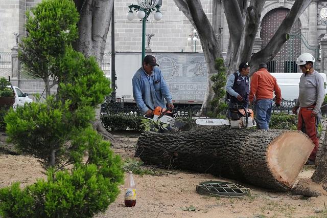 Por seguridad, talan ocho árboles del zócalo de Puebla